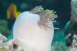 BD-130710-Maldives-0051-Heteractis-magnifica-(Quoy---Gaimard.-1833)-[Magnificent-sea-anemone].jpg